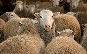 продам овца