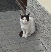 Красивый большой кот ищет дом и любящих хозяев