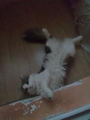 Внимание потерян кот Лиможа