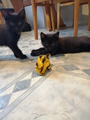 2 черных котенка ищут дом и любящих хозяев